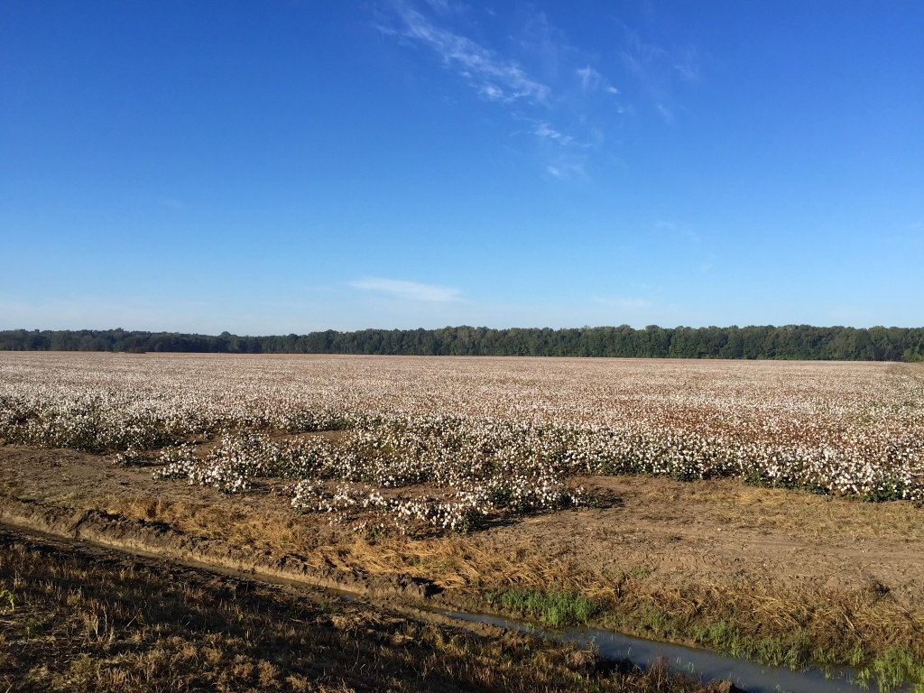Cotton Fields of the Mississippi Delta region